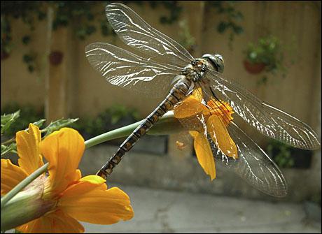 E licopter pe floare.jpg