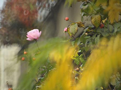 trandafir%20500%20toamna.jpg